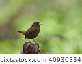 冬鷦鷯 鳥兒 鳥 40930834