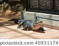 鱷魚 餵養 贖 40931174