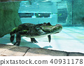 鱷魚 水生的 水下 40931178