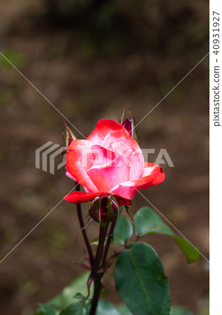 """紅色和白色的玫瑰花""""丹頂"""" 40931927"""