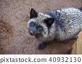 여우, 동물, 육상동물 40932130
