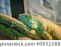 iguana, reptile, animal 40932288