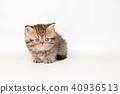 小步舞貓咪 40936513