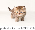 小猫 猫咪 猫 40936516