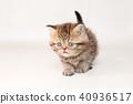 小猫 猫咪 猫 40936517