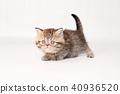 小步舞猫咪 40936520