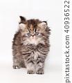 小步舞貓咪 40936522