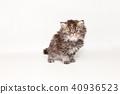 小猫 猫咪 猫 40936523