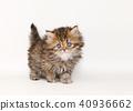 미누엣토 고양이 40936662