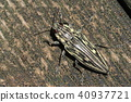 吉丁虫科 宝石甲虫 甲壳虫 40937721