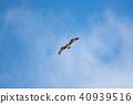 การเต้น Osprequettes ในท้องฟ้าของ Kushiro Marsh 40939516