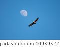 月亮和白尾鷹 40939522