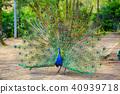孔雀 鳥兒 鳥 40939718