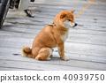 柴犬 丛林犬 狗 40939750