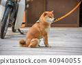 柴犬 丛林犬 狗 40940055