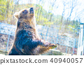 bear, brown, animal 40940057