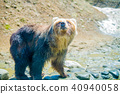 bear, brown, animal 40940058