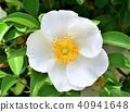 꽃, 플라워, 덩굴 식물 40941648