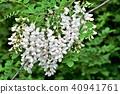 콩과, 꽃, 플라워 40941761