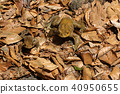 아즈마 두꺼비가 두 마리 후쿠시마 현 다다미 마치 40950655