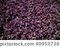 紫蘇 40950736