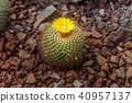 botany cacti cactus 40957137
