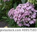 粉紅色的繡球花 40957583
