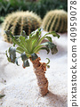mini palm tree with two round cactuses 40959078