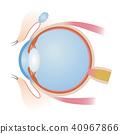 眼睛 目光 結構 40967866