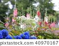 수국, 자양화, 꽃밭 40970167