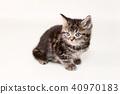 Ameshaw小貓 40970183