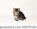 아메리칸쇼트헤어, 아메리칸숏헤어, 새끼 고양이 40970184