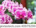 蘭花 蝴蝶蘭 花 40970200