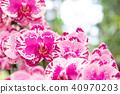 蘭花 蝴蝶蘭 花 40970203