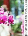 蘭花 蝴蝶蘭 花 40970388