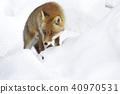 Hondo Gitsune สุนัขจิ้งจอกสีแดงฟ็อกซ์ฟ็อกซ์สุนัขจิ้งจอกสีแดงญี่ปุ่นสัตว์ป่าหิมะฤดูหนาวธรรมชาติ 40970531