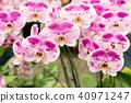 蝴蝶蘭 花 花卉 40971247