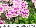 蝴蝶蘭 花 花卉 40971254