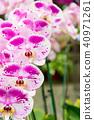 蝴蝶蘭 花 花卉 40971261
