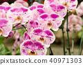 蝴蝶蘭 花 花卉 40971303