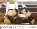 荷蘭豬 動物 小動物 40971426