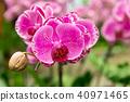 蝴蝶蘭 花 開花 40971465