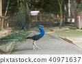 藍孔雀 孔雀 禽 40971637