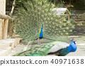 大牟田市動物園孔雀, 40971638