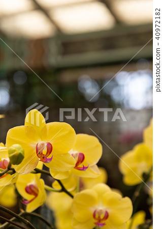 Shilin 공식 난 난 전시회 Shilin 공식 전시회 Moth Orchid Phalaenopsis Phalaenopsis 40972182