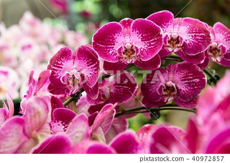 士林官邸蘭花展 台湾士林官邸らん展 Moth Orchid 蝴蝶蘭 Phalaenopsis 胡蝶蘭 40972857