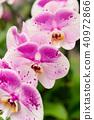蘭花 蝴蝶蘭 花 40972866