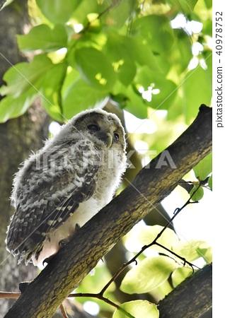 貓頭鷹幼鳥 40978752