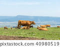 Aso grazing cattle 40980519