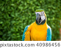 Parrot, lovely bird, animal and pet in the garden 40986456